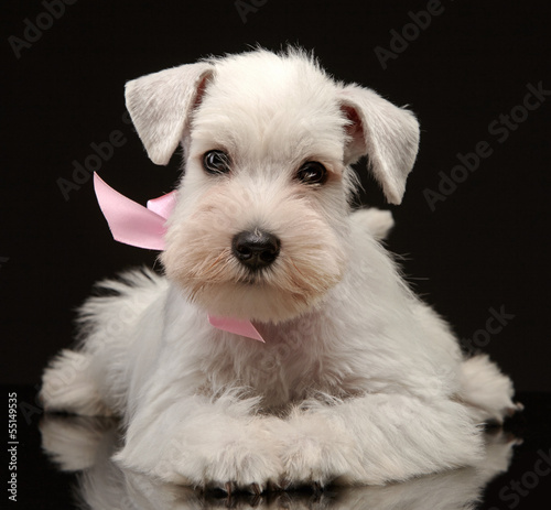 White miniature schnauzer puppy