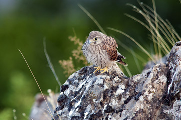 Fledgling Common Kestrel -Falco tinnunculus, Greece