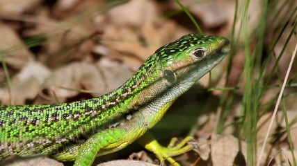 Green Lizard on Oak Forest