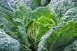 Wirsingkohl - Savoy cabbage 02