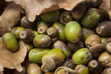 autumn oak leaves and acorns