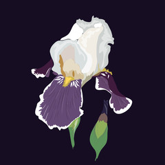 Flowers iris, lilac petals and green leaves. Vector