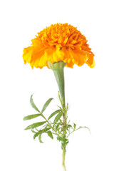 Orange french marigold flower isolated on white
