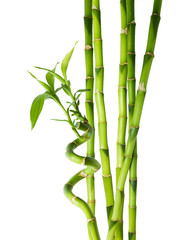 bamboo - six stalks