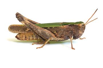 Grasshopper on the white