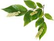Ironwood Fruits and Leaves