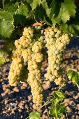 Grappoli d'uva bianca per vinificazione