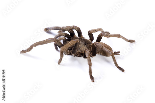 Tarantula on white background. Soft shadow under spider.