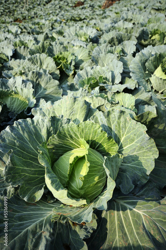 Convert fresh green cabbage.