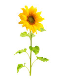 Sunflower plant isolated on white background.