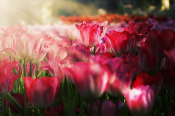 fresh tulips in garden on sunset