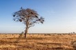 tree in the open savanna plains of Tsavo National Park
