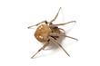 Garden orb weaver spider (Eriophora transmarina) on white.