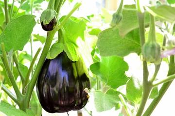 Fresh aubergine (eggplant)