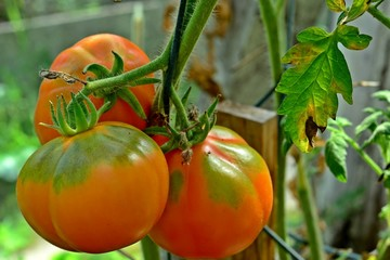 Ripe tomatoes on the vine
