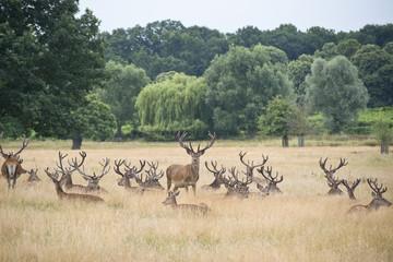 Red deet stag herd in Summer field landscape