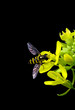 Bee with yellow stripes isolated on black
