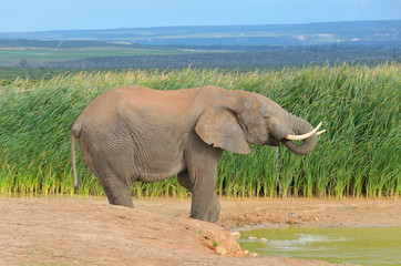 African animals, elephant near waterhole, South Africa