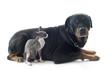 Sphynx Cat and rottweiler