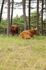 Scottish highlander with big horns cow in pine tree forest.