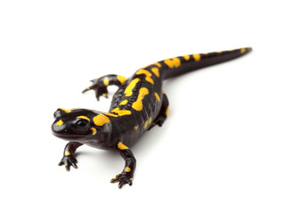 Fire salamander  (Salamandra salamandra) on white