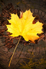 Autumn leave over wooden background