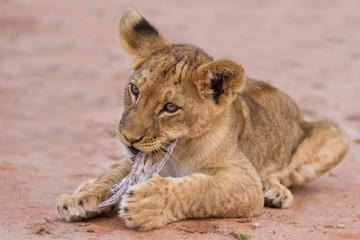 Cute lion cub playing on sand in the Kalahari