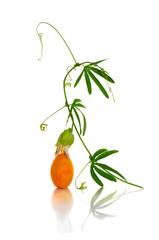 Graceful sprig of Passiflora with fruit macro