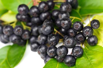 Aronia Früchte mit Blättern