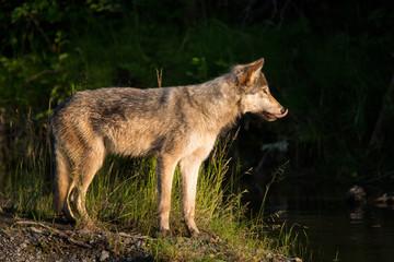 Wolf wildlife