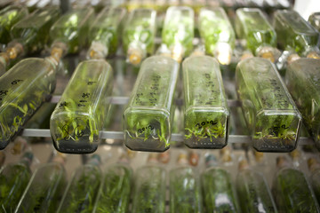 orchid lab, orchid tissue culture in a bottle many rows