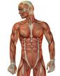 Muskelstruktur Mann Vorne