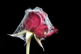 Withered rose covered with spider web