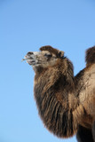 Portrait of a Bactrian Camel (Camelus bactrianus)