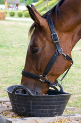 Closeup of brown horse drinking water