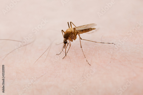Mosquito sitting on the skin