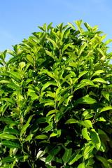 arbuste laurier ,de haie bocagère