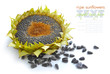 Autumn sunflower with ripe seeds on white background