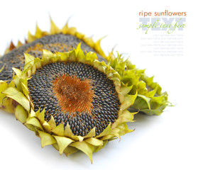 Autumn sunflowers with ripe seeds on white background