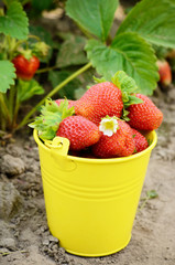 Strawberries in the bucket