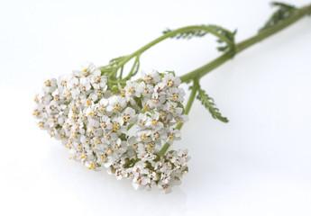 Schafgarbe, Achillea, millefolium,