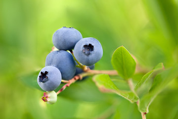 Blueberries on branch on green background