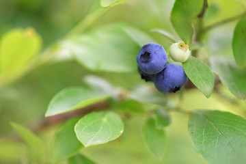 Blueberries on branch with leaves on green background