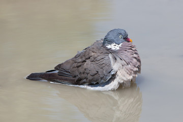 Wood Pigeon palumbus taking a bath in a pond