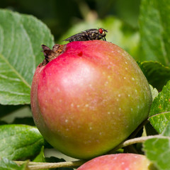 Fly on apple