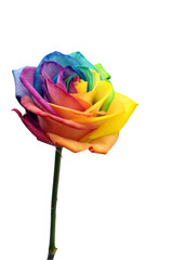 Close up of rainbow rose flower