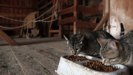 Barn Cats Feeding