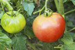 Red and green tomatoes on a branch