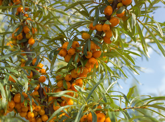 Branches of seabuckthorn_4