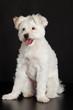 Young white dog on black background